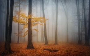 Обои лес, осень, листва, деревья, туман, утро