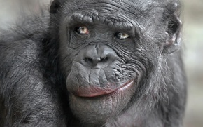 Картинка взгляд, обезьяна, мимика