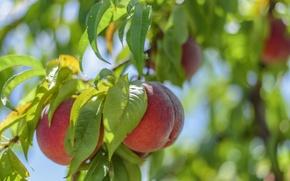 Обои солнце, ветка, листва, свет, плоды, персики, листья