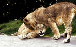 Картинка трава, кошки, природа, фон, игра, лев, пара, дикие кошки, львы, львята, агрессия, зоопарк, боке, забава, …