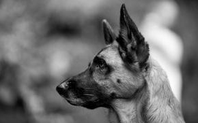 Картинка взгляд, собака, черно-белое, овчарка, немецкая