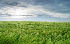 Обои зелень, трава, ветер, обоя