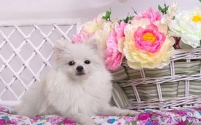 Картинка белый, цветы, корзина, шпиц