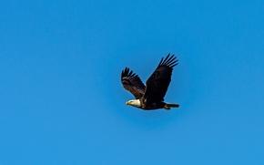 Картинка Орел, белоголовый орлан, полет, крылья, голубое небо