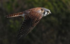 Картинка полет, птица, крылья, взмах, Пустельга