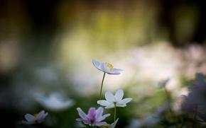 Картинка цветы, белые, цветочки, боке