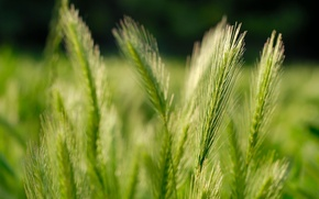 Обои fields, macro, природа, nature pictures, grass, пшеница, поле, зерна, колосья