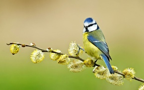 Обои синица, ветка, лазоревка, верба, птица