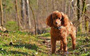 Картинка природа, собака, пудель