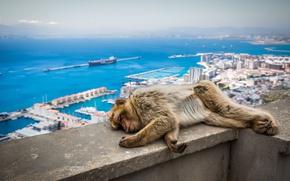 Картинка Обезьяна, Спит, Великобритания, Животные, Гибралтар