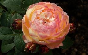 Картинка жанон, Роза, листья, розаман, кустарниковая
