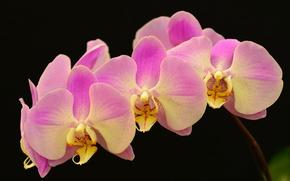Картинка макро, фон, ветка, лепестки, орхидея