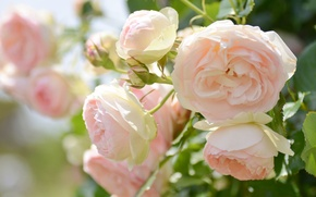 Картинка макро, нежность, розы