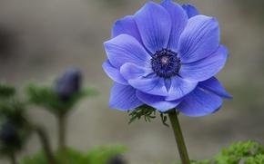 Обои анемона, ветреница, синий, цветок