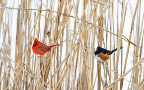 Картинка зима, птица, растение, клюв, хвост, кардинал