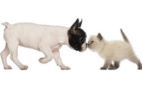 Обои собака, британская короткошёрстная кошка, щенок, котёнок, дружба, французский бульдог, друзья