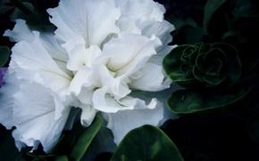Картинка белый, цветок, зеленое, петуния
