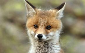 Картинка лиса, fox, redhead, cute