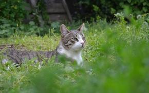 Картинка трава, Кот, лежит