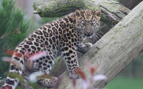Картинка леопард, бревно, детёныш, котёнок, Дальневосточный леопард, Амурский леопард