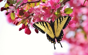 Картинка цветы, ветка, бабочка, цветение, вишня, розовые