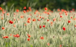 Картинка пшеница, поле, цветы, фон, widescreen, обои, мак, рожь, маки, красиво, wallpaper, колосья, цветочки, широкоформатные, background, ...