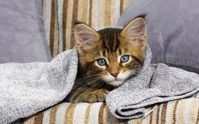 Обои глаза, кот, взгляд, котенок, диван
