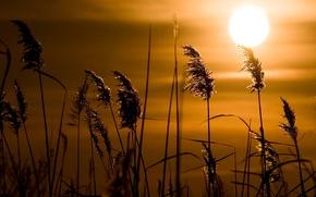 Картинка трава, солнце, закат, камыш