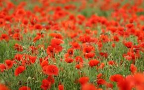 Обои поле, цветы, красный, мак