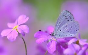 Картинка цветы, бабочка, размытость, розово-сиреневые