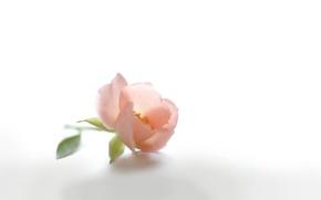 Картинка цветок, розовый, нежность, лепестки, бутон, шиповник