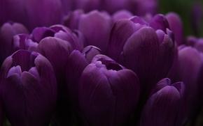 Картинка сиреневый, бутон, тюльпаны, много