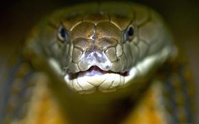Картинка змея, королевская, кобра