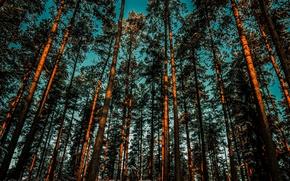 Картинка лес, небо, деревья, сосны