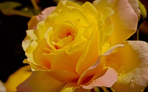 Картинка капли, роза, Желтая