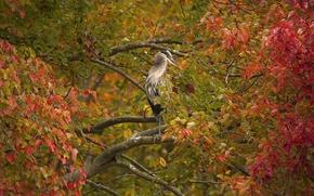 Картинка осень, ветки, дерево, птица, листва, Серая цапля