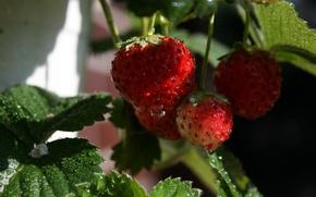 Картинка макро, роса, ягоды, клубника