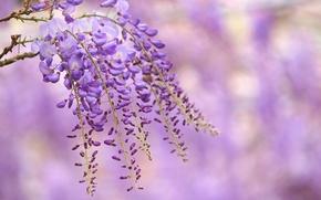 Обои цветы, ветка, глициния, сиреневые