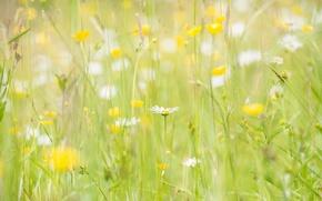 Обои поле, лето, природа, ромашки