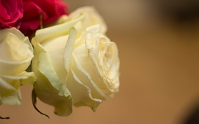 Картинка макро, роза, белая роза
