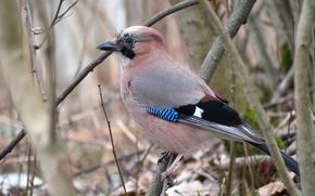 Картинка птица, в лесу, сойка, живая природа