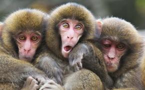 Картинка взгляд, природа, обезьяны