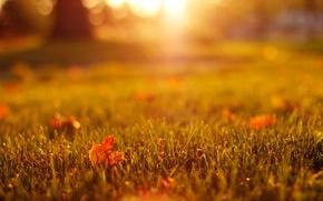 Картинка макро, кленовые, свет, оранжевые, природа, листья, боке, желтые, трава, осень, газон