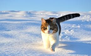 Картинка зима, кошка, кот, снег, прогулка