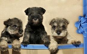 Картинка щенки, лента, бант, трио, троица