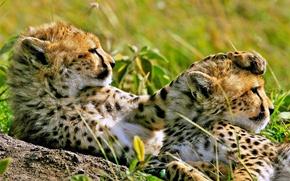 Обои отдых, Гепарды, наблюдение
