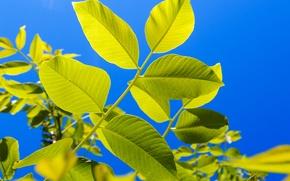 Картинка ветки, Листья, синее небо, ясный день, fujifilm xq2, ореховое дерево