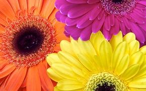 Картинка цветы, краски, лепестки, герберы