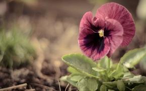 Картинка зелень, цветок, макро, розовый, анютины глазки, виола, крупный