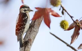 Картинка дерево, птица, перья, дятел, хвост